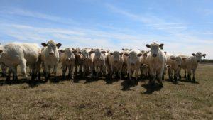 charolais heifers