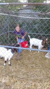 show goats