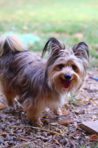 long haired terrier mix dog
