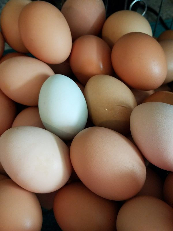 Learn some surprising facts about chickens! #chickens #homestead #homesteading