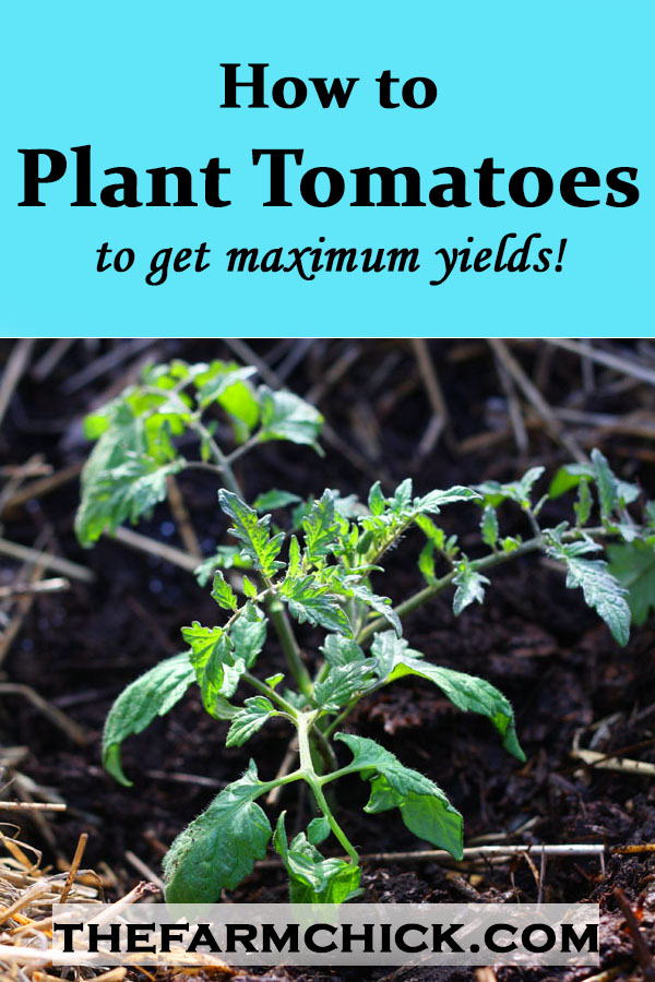 How to plant tomatoes to get maximum yields!