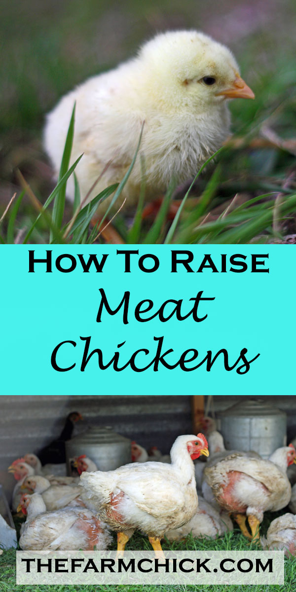 how to raise meat chickens raising broilers homesteading