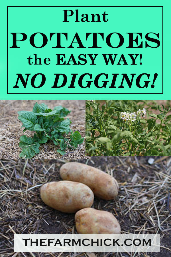 Learn how to plant and harvest potatoes all without digging!  Get cleaner potatoes
