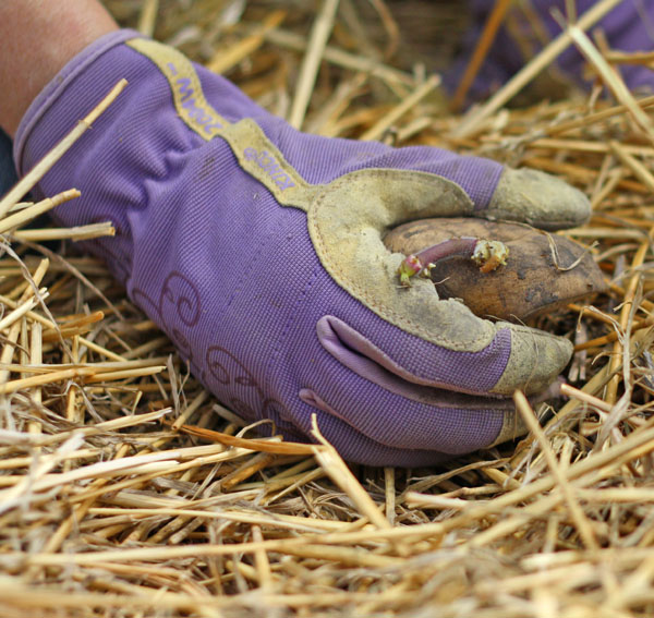 Plant potatoes without digging! #potatoes