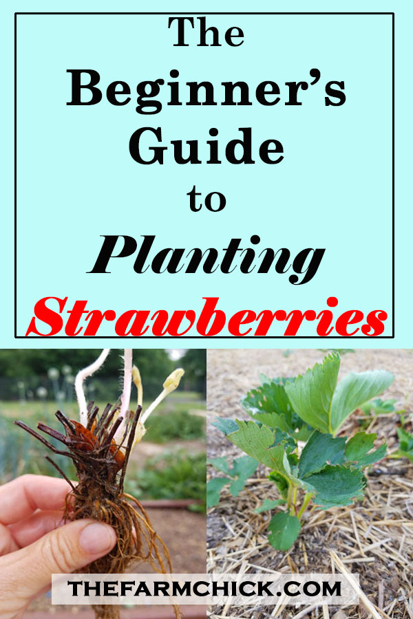 The Beginner's Guide to Planting Strawberries #strawberries #garden #gardening #beginnergardener #homesteading #fruit