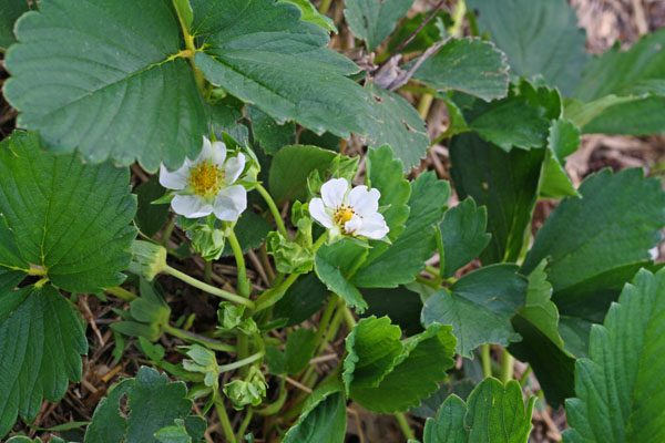 beginner's guid to growing strawberries #strawberries #garden