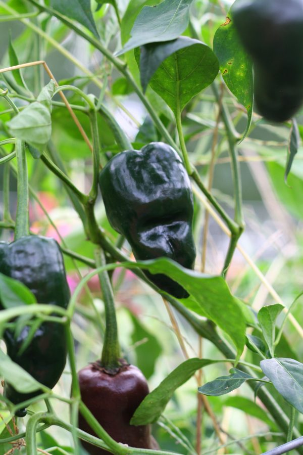Need help deciding what to do with your pepper harvest? Check out these three options!