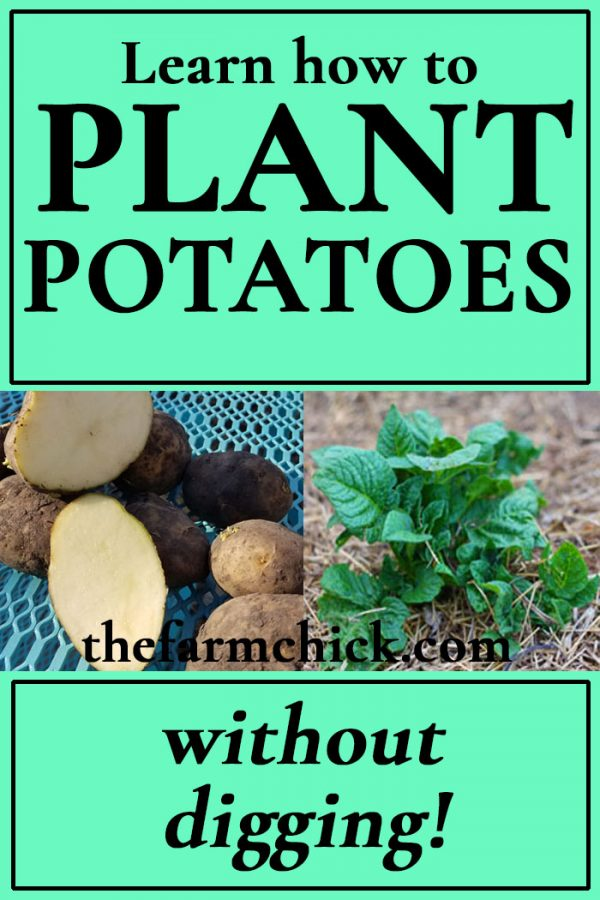 Plant potatoes without digging!