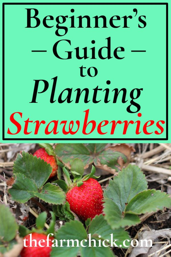 Guide to Planting Strawberries