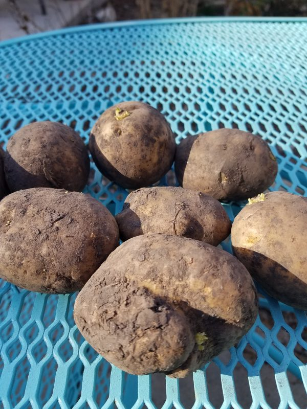 seed potatoes ready to be cut up and planted